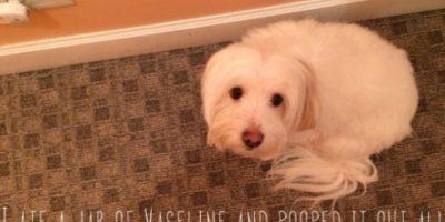 """""""Me comí un tarro de vaselina y me hice en toda la alfombra"""" Foto:DogShaming/Tumblr"""