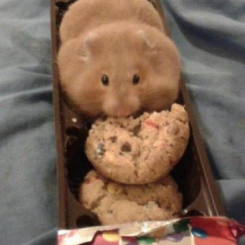 ¿Es una galleta? No, es un hámster con una galleta dentro Foto:Twitter
