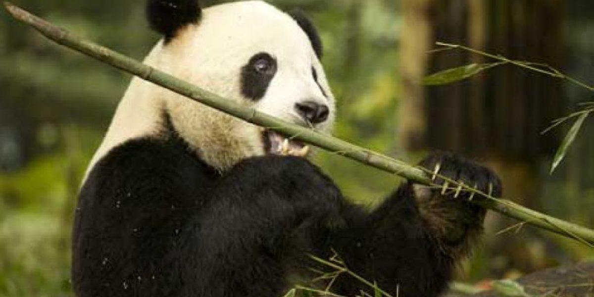 Muere tercer panda gigante por el virus del moquillo en China