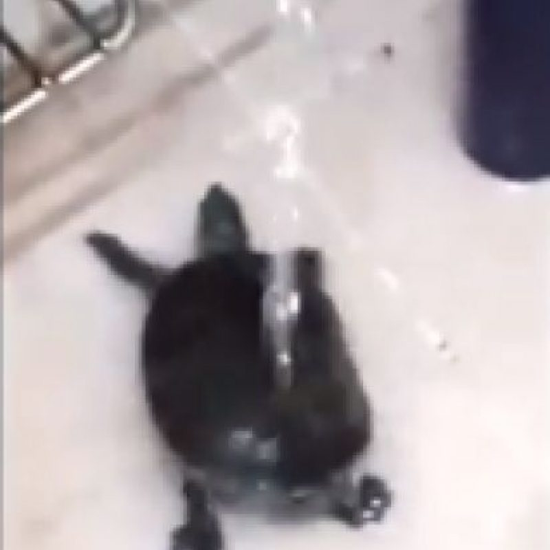 La tortuga que baila twerking Foto:YouTube