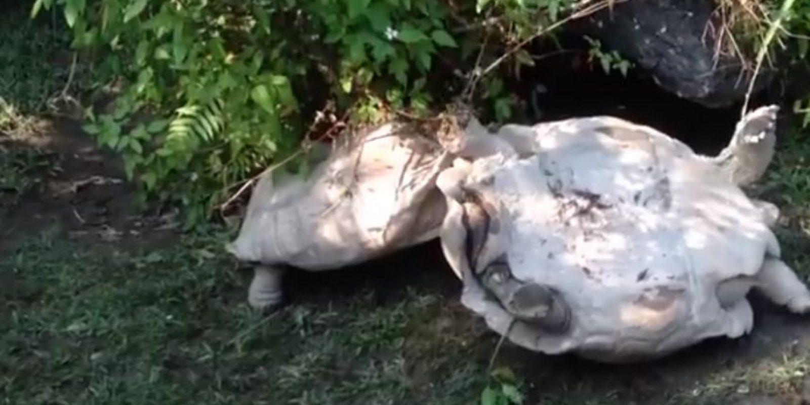 Una tortuga que salvó a su compañera Foto:YouTube
