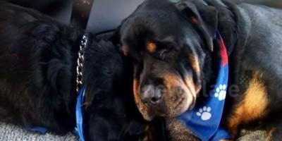 VIDEO. Un rottweiler llora junto al cuerpo sin vida de su hermano