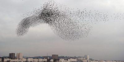 Video: Sorprendente vuelo sincronizado de estorninos