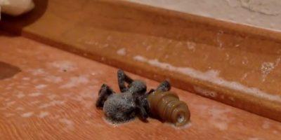 VIDEO: Vean cómo un gusano sale de una araña a la que acaba de devorar