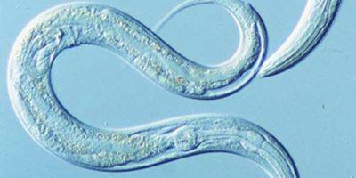 Japoneses proponen detectar cáncer con gusanos
