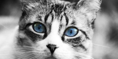 Estos gatos deben gozar del contacto humano para proporcionar confianza, afecto y tranquilidad a las personas. Foto:Pixabay