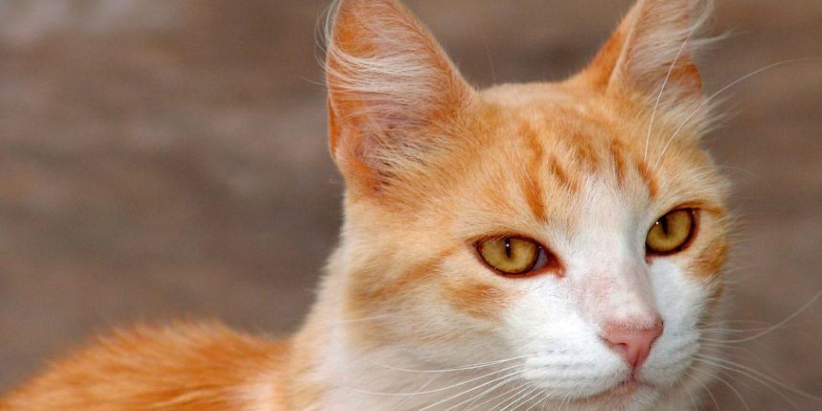 """""""Hay terapias para aquellos que son más apegados a los animales, tal como la hipoterapia (con caballos) y, en este caso, la gato-terapia"""" Foto:Pixabay"""