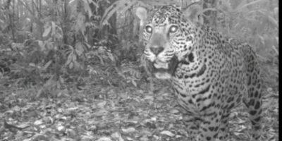 Los jaguares se mudan al Este de la selva petenera