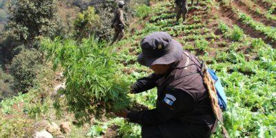 FOTOS. Localizan plantación de marihuana