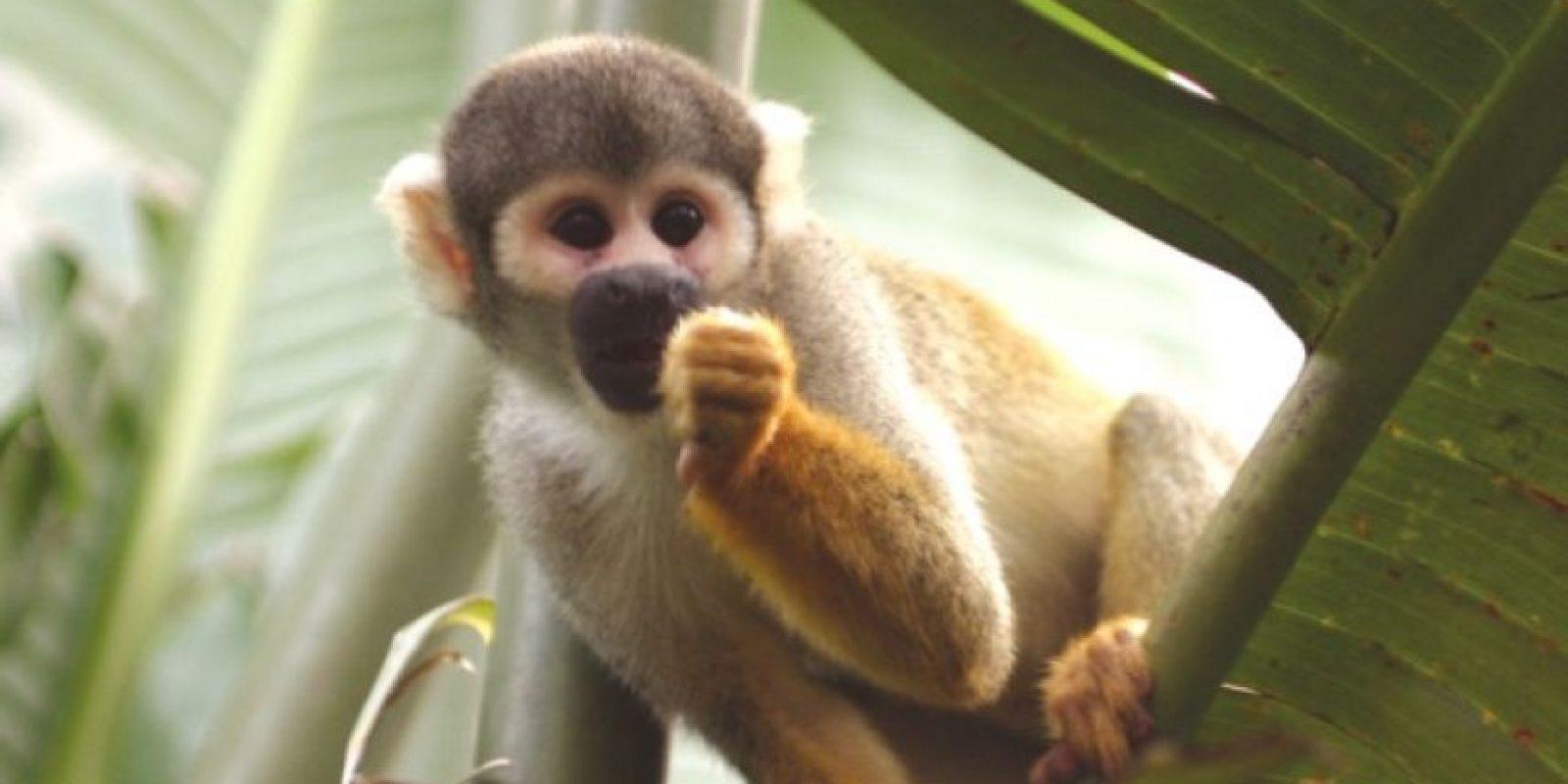 Mono. Valora más a las personas que están cerca de ti. Es muy probable que una persona muy especial tenga la mirada puesta en ti. Acércate más a los demás. Foto:Wikipedia