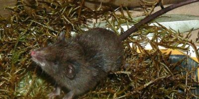 Pertenecen al género Caenolestes. Hay cuatro subespecies de ellos Foto:Wikipedia