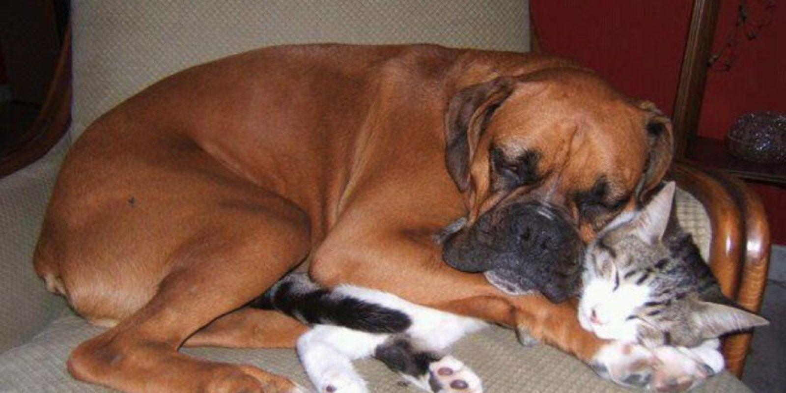 El amor de un perro a un gato Foto:Tumblr.com/Tagged-perros-sorprendentes