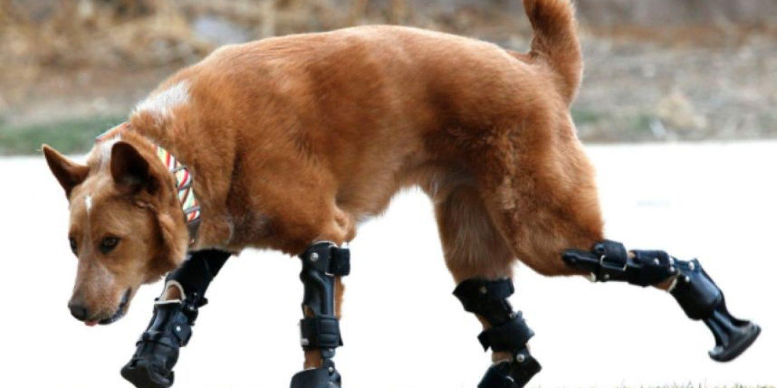 Ortopedia para mascotas Foto:Tumblr.com/Tagged-perros-sorprendentes