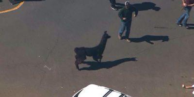 La negra fue atrapada y tardaron en capturar a la blanca. Las persiguieron por tres horas. Foto:Twitter
