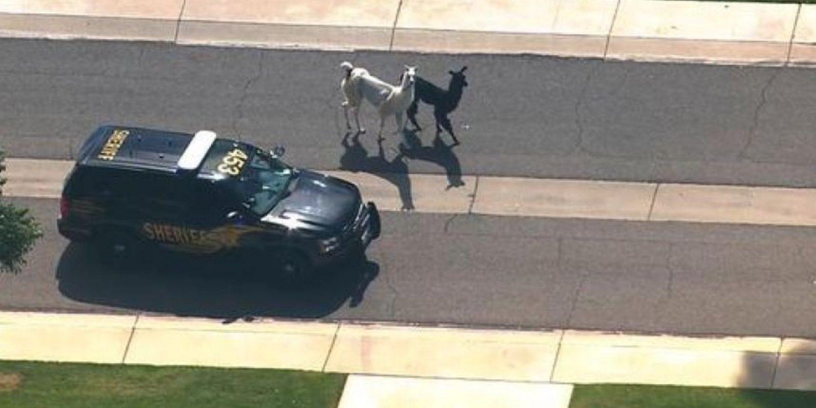 Incluso la policía estuvo al lado de los animales. Foto:Twitter
