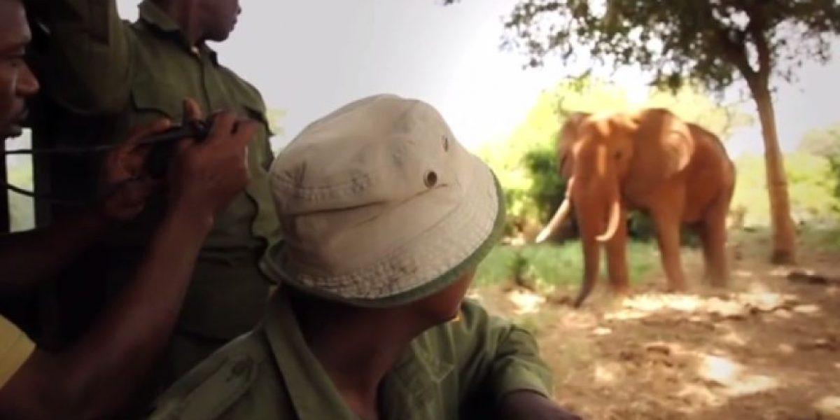 VIDEO. Elefante se reencuentra con el hombre que lo salvó hace 26 años