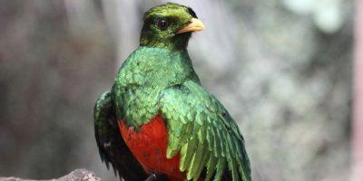 El ave nacional, El Quetezal, es el pájaro más horroroso que haya existido Foto:http://www.buzzfeed.com
