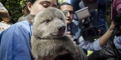 Con apenas dos meses de edad, la cachorra sube de 200 a 300 gramos por día Foto:Luis Carlos Nájera