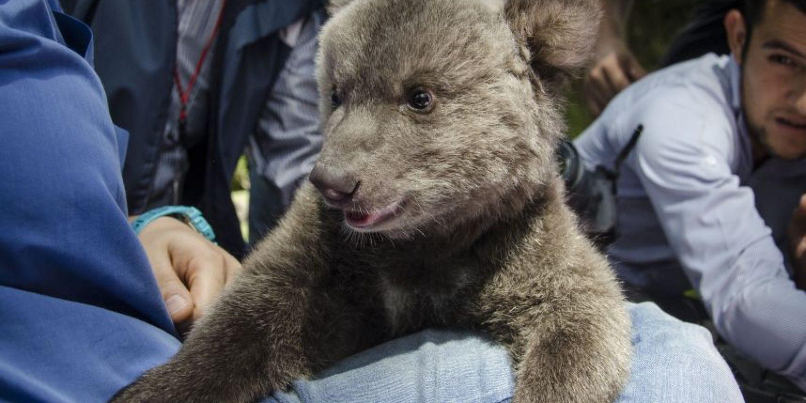 """""""Valentina"""" es una cachorra de oso pardo Foto:Luis Carlos Nájera"""