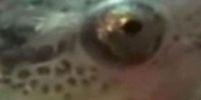 Candirú, pescado que se mete en el recto y devora todo. Foto:Getty Images
