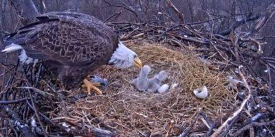 Videos. Captan a padres águila calva cuando alimentan a sus pichones