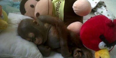 VIDEO. Se recupera bebé orangután que vivió encerrado en jaula de pollos
