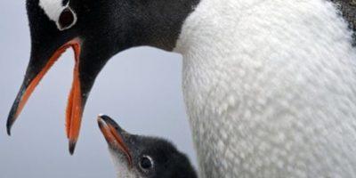 """En esta imagen del 22 de enero de 2015, un pinguino gentoo alimenta a su cría en la estación Bernardo O'Higgins de la Antártica. """"Para comprender muchos aspectos en la diversidad de animales y plantas, es importante comprender cuándo se separaron los continentes"""", dijo Richard Spikings, geólogo jefe en la universidad de Ginebra. """"Así que también estamos aprendiendo sobre la antigüedad real de la Tierra y cómo (los continentes) estaban configurados juntos hace mil millones de año, 500 millones de años, 300 millones de años"""" señaló, añadiendo que los indicios le ayudarán a comprender el papel clave de la Antártida en el rompecabezas de los antiguos supercontinentes. Foto:AP Photo/Natacha Pisarenko"""