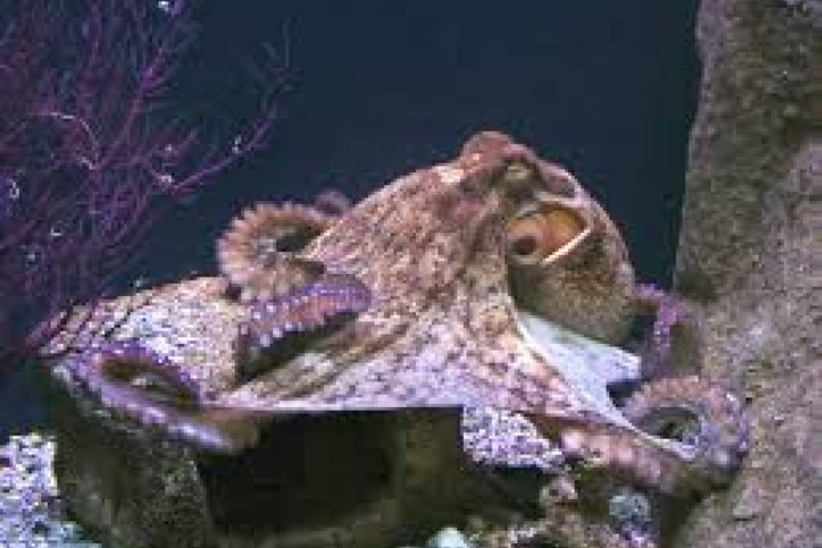 Dos tercios de las neuronas de los pulpos están en sus tentáculos, por lo que los pueden usar para abrir una concha marina mientras sus cuerpos están ocupados en otra cosa. Foto:Wikicommons
