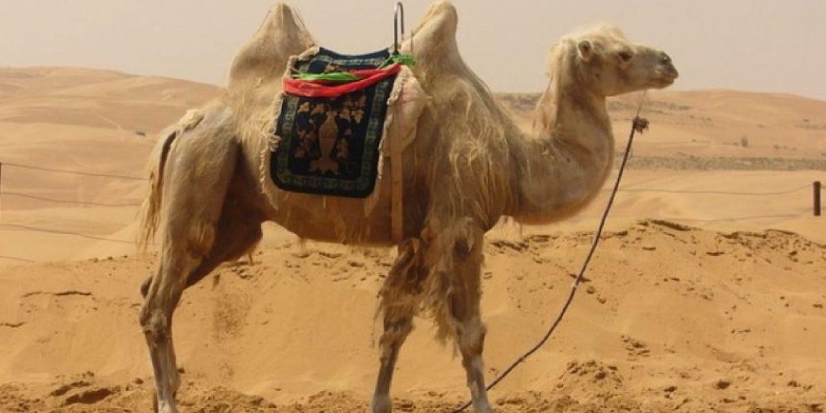 VIDEO: Camello ataca a hombre en plena entrevista