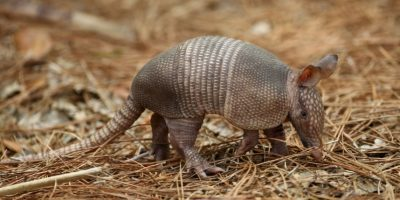 Hombre dispara a armadillo y accidentalmente hiere a su suegra