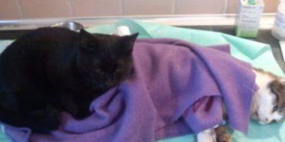 """Rademenes es el gato que """"cuida"""" a otros animales enfermos. Foto:vía Imgur"""