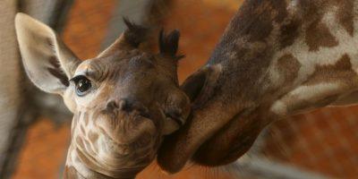 Mujer recibe amenazas de muerte por haber cazado a una jirafa