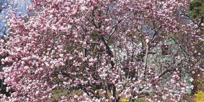 """Respuesta: Verdadero. El letrero, que indica """"peligrosos resbaladizos pétalos de Magnolia"""", fue levantado en el recinto comercial de la Plaza St. Andrews en Driotwitch, Worcestershire, Reino Unido, después de que un cercano magnolio derramara su flor. Foto:Wikimedia"""