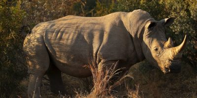 Aumenta la seguridad para el único rinoceronte macho en todo el mundo
