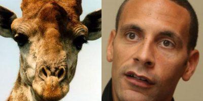 Con ese look, el futbolista inglés Rio Ferdinand se parece a esta jirafa. Foto:http://footyjokes.net