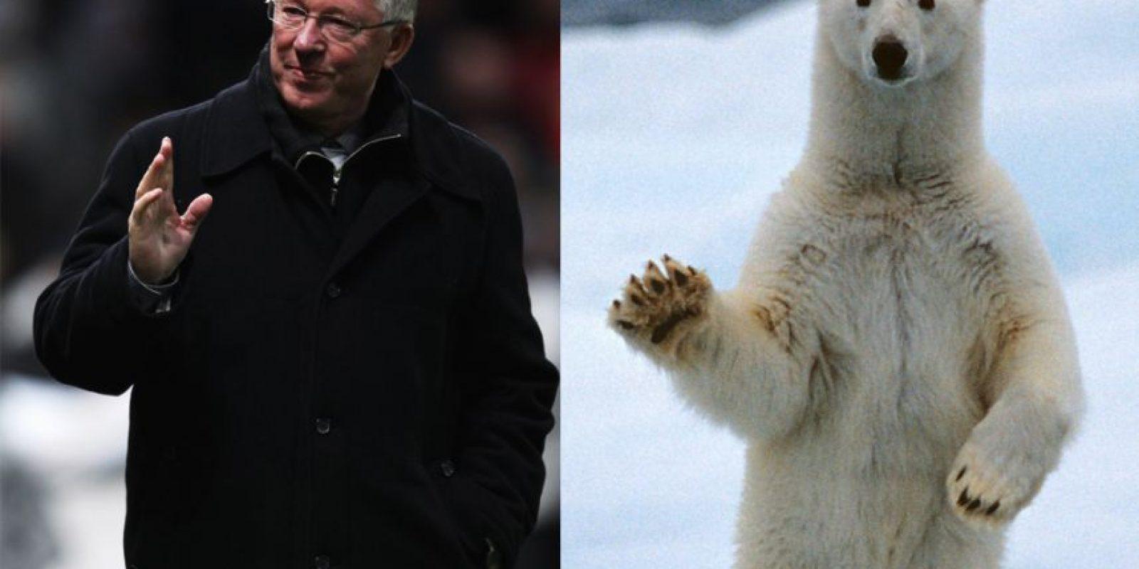 El oso polar tiene el mismo estilo que Alex Ferguson, mítico entrenador del Manchester United. Foto:Vía Twitter