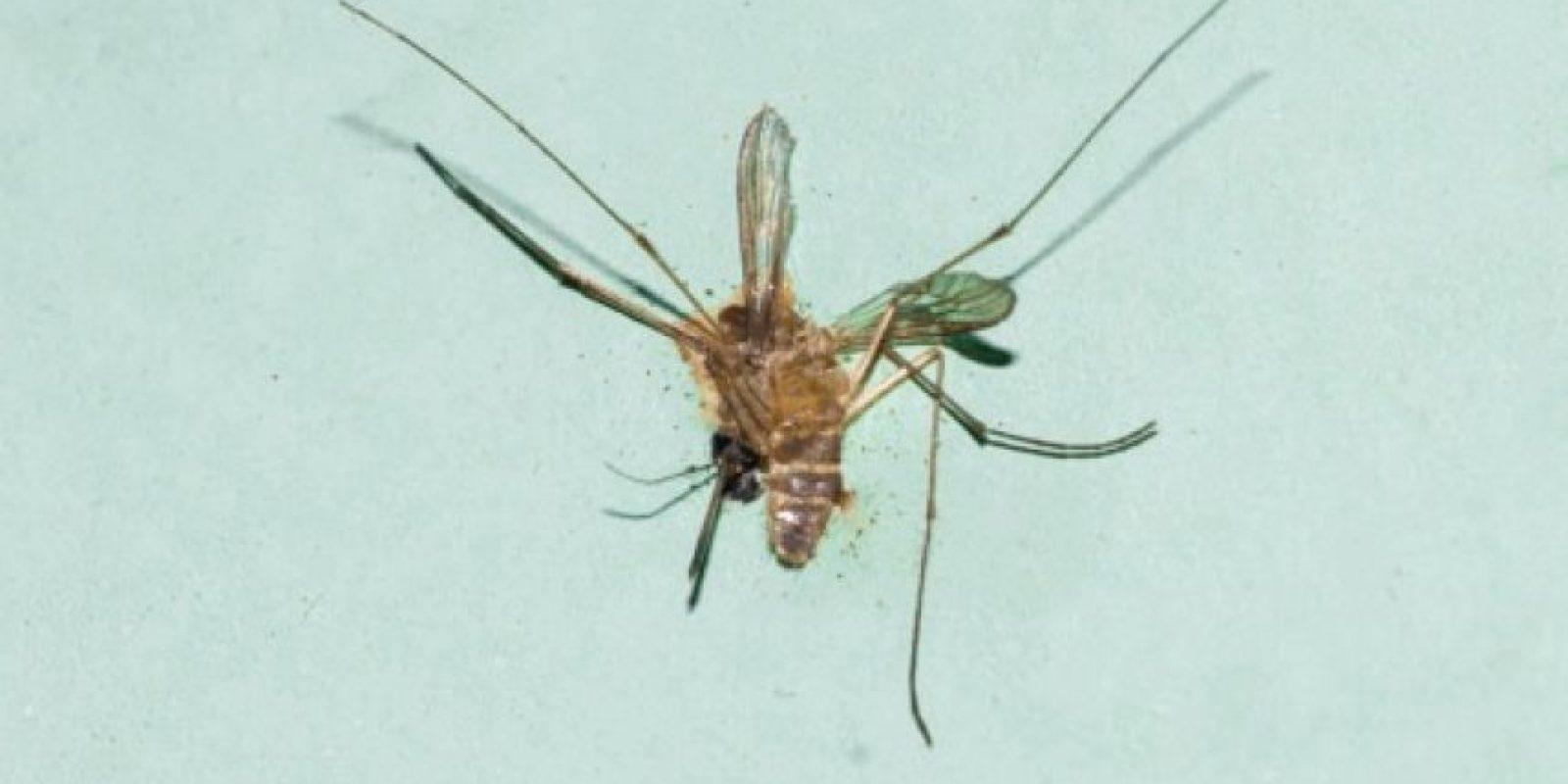 2. Un mosquito puede transmitir enfermedades fatales, entre ellas la malaria, el dengue, la fiebre del Río Ross entre otras. Foto:Tumblr.com/Tagged-mosquito