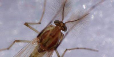 4. De acuerdo a la página web sobre mosquitos de la Universidad Rutgers, en Nueva Jersey, los mosquitos en realidad obtienen la mayor parte de su energía principalmente gracias al azúcar. Foto:Wikimedia