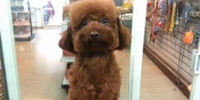 Luego de poco tiempo lograron imponer moda entre las mascotas, pues ahora se busca que tengan la cabeza esférica o totalmente cuadrada. Foto:gamme