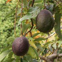 Los aguacates no se maduran sino hasta que son cortados del árbol. Por ello deben madurar a temperatura y no en el refrigerador, ya que este podría detener el proceso. Foto:Wikimedia