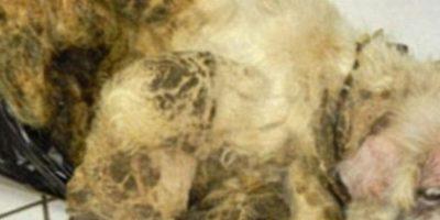 La tragedia de Sammy: Keith Morgan llevó a un perrito de 17 años de edad llamado Sammy a la Sociedad Humana, con evidentes signos de desnutrición.Pero no era todo: el perro estaba en tan mal estado que su pelo estaba pegado y con una pasta hecha por sus propias heces. Ni podía caminar. Morgan, supuestamente, era el héroe de la historia. Foto:vía Oddee