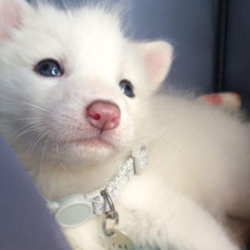 Se llama Rylai y es una zorrita de 5 semanas de edad y su dueña es Jennifer. Ya tiene cientos de miles de seguidores en Instagram. Foto:vía Instagram/rylaifox