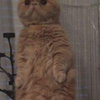 Sus dueños no saben por qué este gato comenzó a ponerse en dos patitas Foto:Vía Instagram.com/george2legs