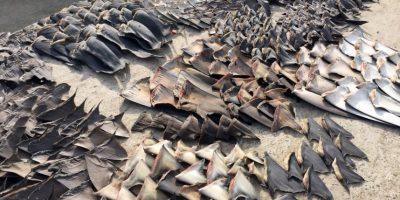 Decomisan 200 mil aletas de tiburón que serían traficadas a Asia