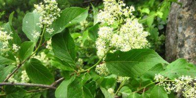 Estudio: Esta planta reduce la obesidad en casi un 50%