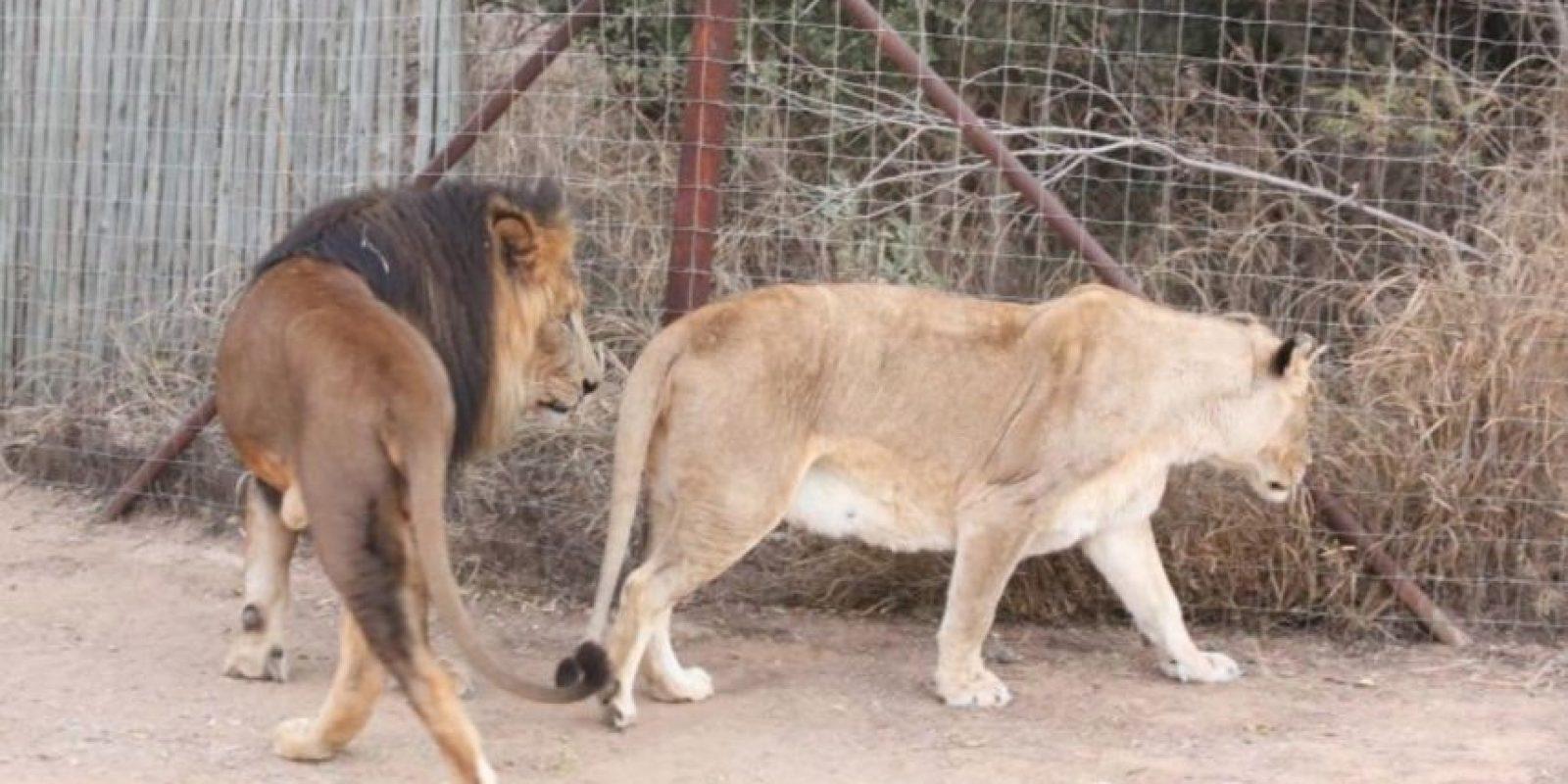 Bajó la ventana y un león la atacó y la mató. Foto:Vía Barcroft Media