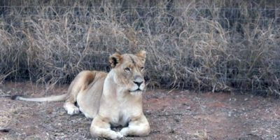 Ignoró las precauciones de seguridad en el Lion Park Foto:Vía Barcroft Media