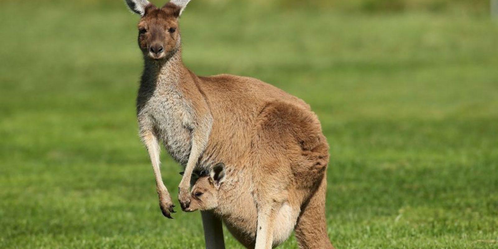 Un nuevo estudio ha descubierto que la mayoria de canguros son zurdos. Foto:Getty Images