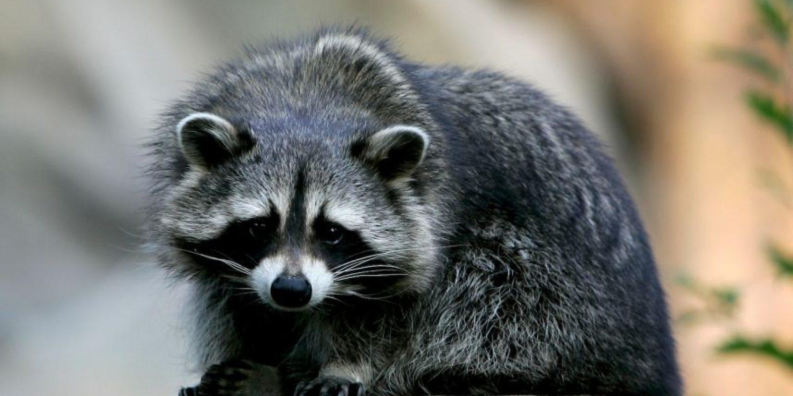 El mapache es un mamífero también conocido como mapache boreal o mapache común, dado que es la especie más conocida del género Procyon Foto:Getty Images