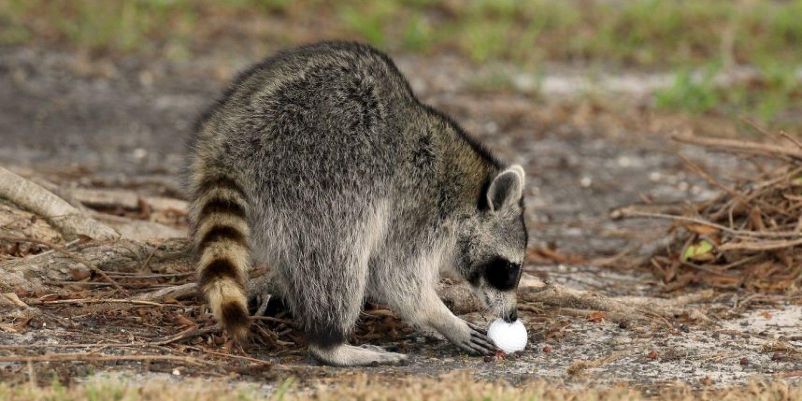 Es un animal de tamaño similar al de un gato, que mide entre 40 y 70 centímetros de longitud y pesa entre dos y 14 kilogramos Foto:Getty Images
